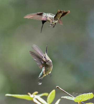 Photograph - A Fiesty Duel by Amy Porter