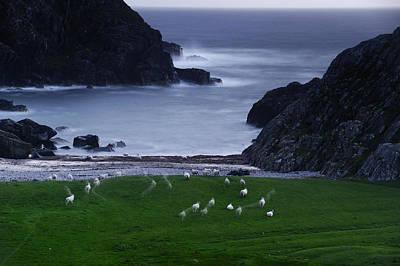 A Flock Of Sheep Graze On Seaweed Print by Jim Richardson