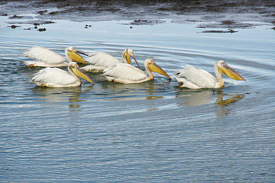 Photograph - A Flotilla Of Pelicans by Michele Burgess