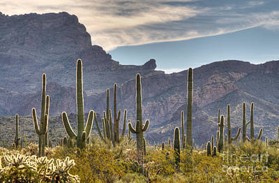 A Forest Of Saguaro Cacti Art Print