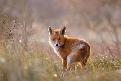 Contemplate Photograph - A Fox Called Pinoccio by Roeselien Raimond