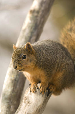 A Fox Squirrel Sciurus Niger Perches Print by Joel Sartore