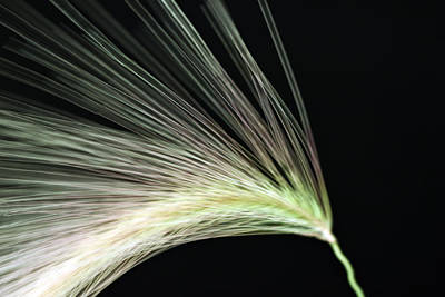 Seed Abstract Photograph - A Foxtail Seed In Flight - Macro by Sandra Foster