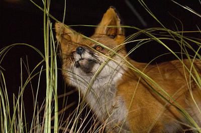 Photograph - A Foxy Friend by Douglas Barnett