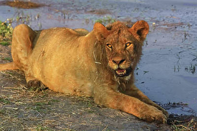 Photograph - A Freshly Fed Lion by Kay Brewer