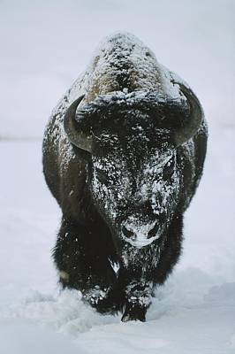 A Frost-covered American Bison Bull Art Print by Tom Murphy