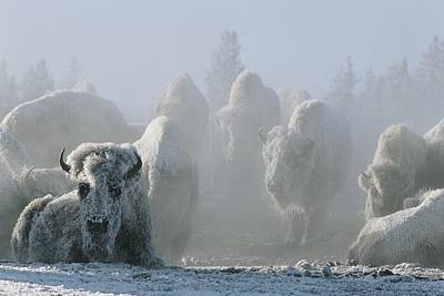 A Frost-covered Herd Of American Bison Art Print by Tom Murphy