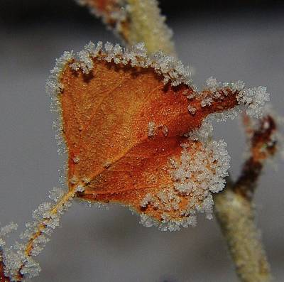 Poplar Leaf Photograph - A Frosted Leaf  by Jeff Swan