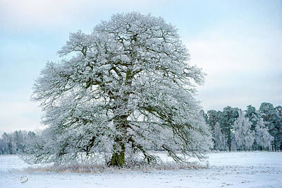 Photograph - A Frosty Grand Old Oak by Torbjorn Swenelius