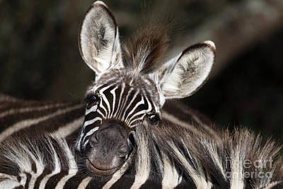 Photograph - A Funny Zebra In Ngorongoro Crater by RicardMN Photography