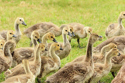 Photograph - A Gaggle Of Goslings by Joni Eskridge
