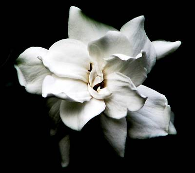 Photograph - A Gardenia Night by Angela Davies