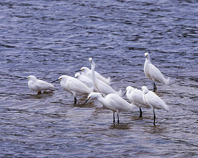 Photograph - A Gathering Of Snowy Egrets by Van Sutherland