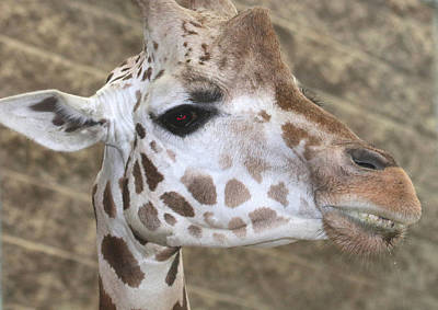 Photograph - A Giraffe's Portrait by Living Color Photography Lorraine Lynch