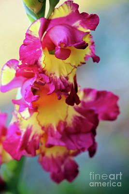 Photograph - A Gladiolus 3 by Victor K
