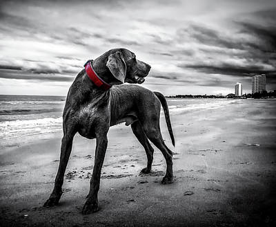 Weimaraner Photograph - A Glance On The Beach by Coffy