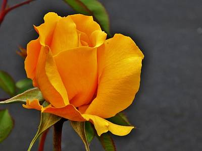 Photograph - A Glorious Yellow Rose by VLee Watson