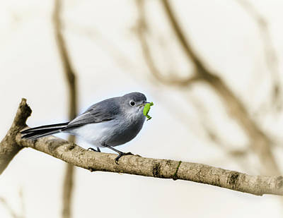 Photograph - A Gnatcatcher And Its Caterpillar by Debra Martz