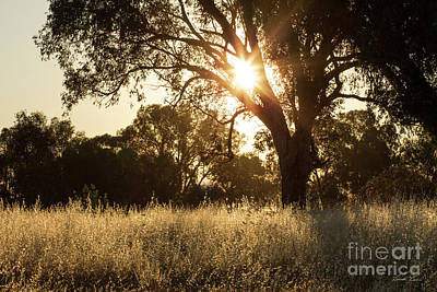 Gumtree Photograph - A Golden Afternoon by Linda Lees