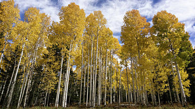 Photograph - A Golden Forest Of Aspens  by Saija Lehtonen