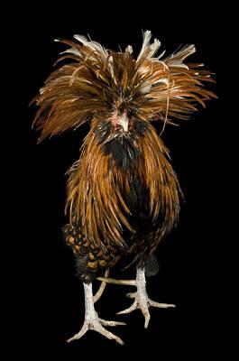 Captive Animals Photograph - A Golden Polish Chicken by Joel Sartore