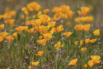 Photograph - A Golden Poppy Spring  by Saija Lehtonen