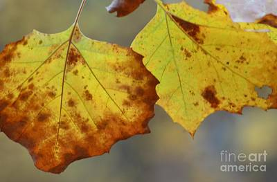Photograph - A Goldenleaf Duo by Maria Urso