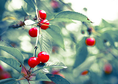 Photograph - A Good Year For Cherries by Ronda Broatch