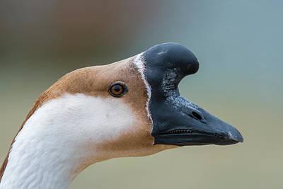 Photograph - A Goose Is A Goose by Debra Martz