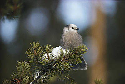Natural Forces Photograph - A Gray Jay, Also Known As A Canada Jay by Michael S. Quinton