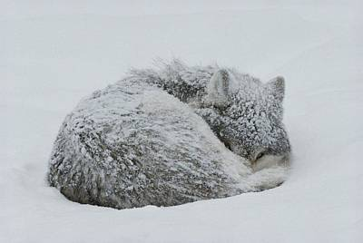 Natural Forces Photograph - A Gray Wolf, Canis Lupus, Curls by Jim And Jamie Dutcher