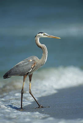 A Great Blue Heron Walks In The Sand Print by Klaus Nigge