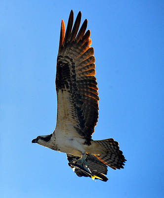 Photograph - A Great Catch Osprey by David Lee Thompson