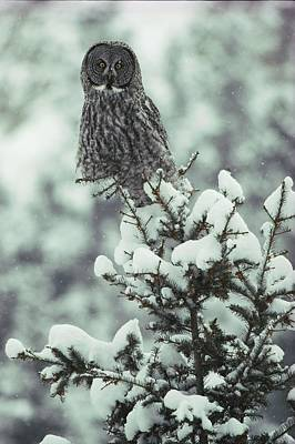 Natural Forces Photograph - A Great Gray Owl Strix Nebulosa Perches by Tom Murphy