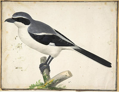 Drawing - A Great Grey Shrike by Pieter Holsteyn II