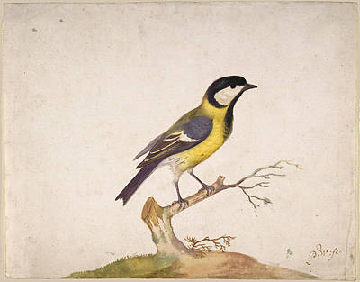 Drawing - A Great Titmouse, Parus Major, Perched On A Branch by Pieter Withoos