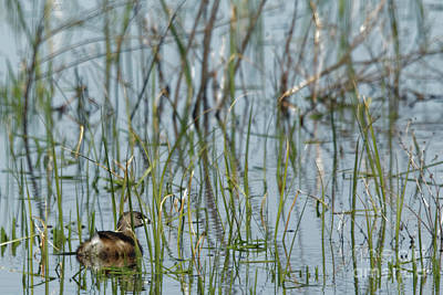 Photograph - A Grebe In The Folliage by Natural Focal Point Photography