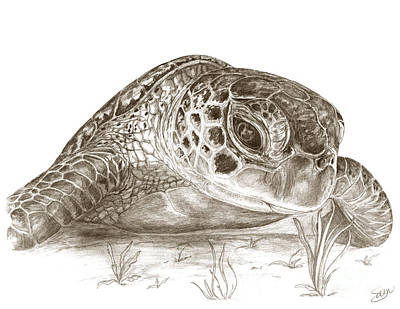 Green Sea Turtle Drawing - A Green Sea Turtle In Earthtones by Stacey May