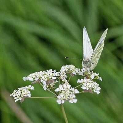Warwickshire Photograph - A Green-veined White (pieris Napi) by John Edwards