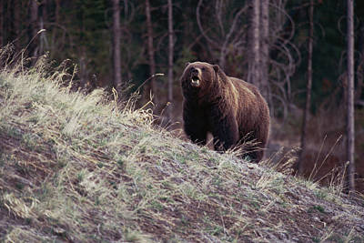 A Grizzly Bear Approaching The Crest Art Print by Bobby Model