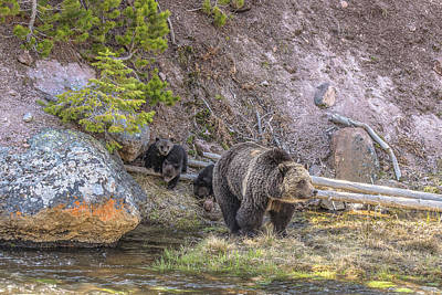 Photograph - A Grizzly Family In Spring by Yeates Photography
