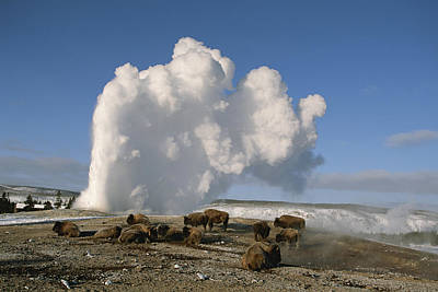 Bison Photograph - A Group Of American Bison Rest by Tom Murphy