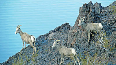 Photograph - A Group Of Desert Bighorn Sheep by Kay Novy