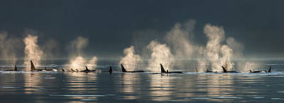 A Group Of Orca  Killer  Whales Come Art Print by John Hyde