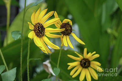 Photograph - A Group Of Sunflowers by Michelle Meenawong