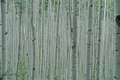 Forests And Forestry Photograph - A Grove Of Aspen Trees Outside Aspen by Taylor S. Kennedy