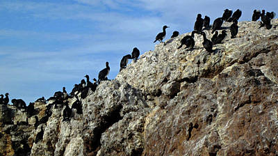 Photograph - A Gulp Of Cormorants by Sandy Taylor