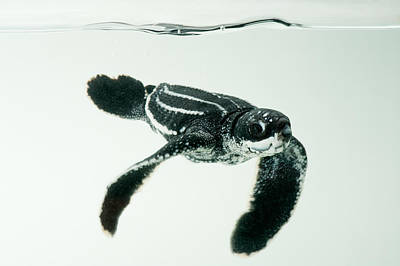 A Half-day-old Leatherback Turtle Print by Joel Sartore