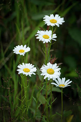 Photograph - A Half Dozen Wild Daisies by Mary Lee Dereske