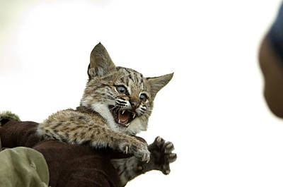 A Hand-raised Bobcat Reacts As Its Held Art Print by Joel Sartore